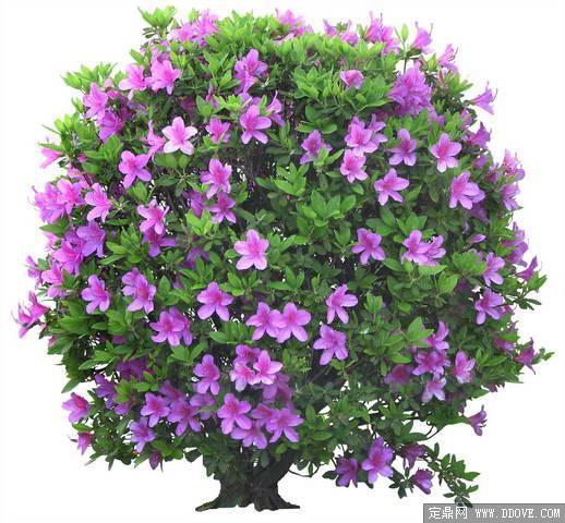 造型非常漂亮的杜鹃盆景花卉素材-80张psd格式后期花卉植物素材-fb06