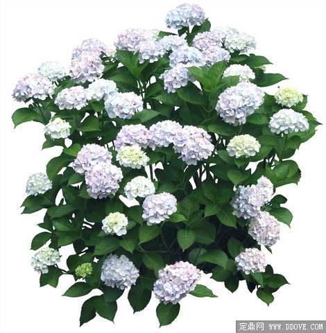 盛开的绣球花卉素材-80张psd格式后期花卉植物素材-fb