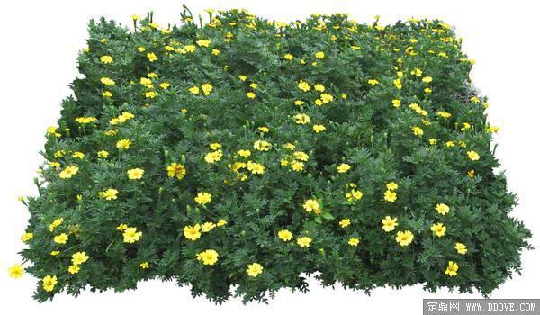 草花地被菊花素材-80张psd格式后期花卉植物素材-fb48