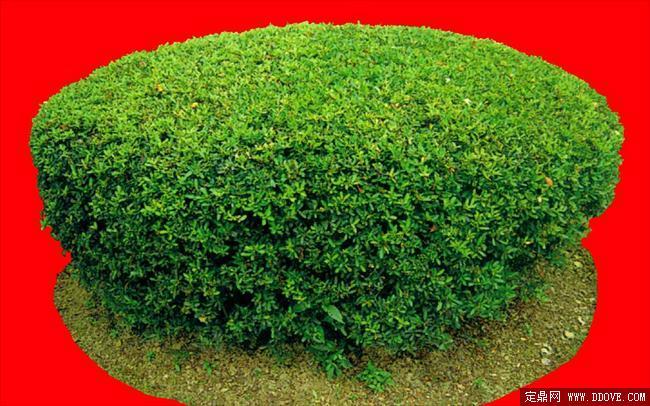 灌木078_效果图植物配景素材